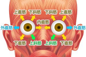 眼のまわりの筋肉のイメージ