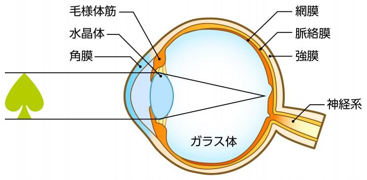 正視・遠視・近視のメカニズム